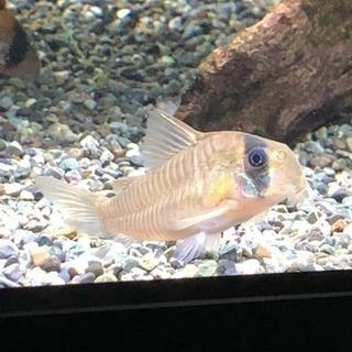 コリドラスアマパポタロエンシス(熱帯魚水槽)生体