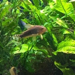 コリドラスゴッセイ値下げ(熱帯魚水槽)生体