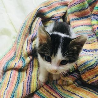 元気な甘えん坊の子猫ですーオス生後2ヶ月ちょっと