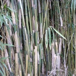 女竹を探しています