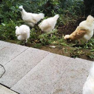 白烏骨鶏 1羽 平成30年3月産まれ