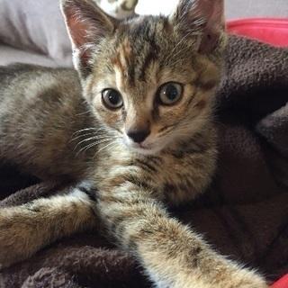 甘えん坊な2ヶ月の女の子。薄い色目のキジ猫さんです。