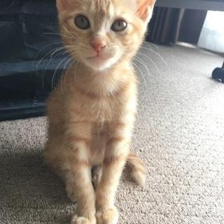 至急!茶トラ♀2ヶ月の子猫