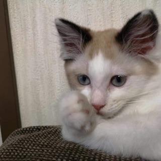 ラグドール風 MIX子猫の里親さん募集