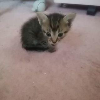 6月15日生まれのキジトラの子猫