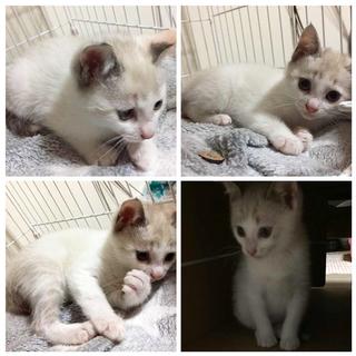 子猫の里親募集 (仮名:ピレア) - 釧路市