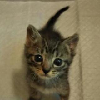 保護猫(約1ヶ月の男の子)里親さん募集