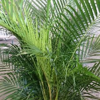 観葉植物 アレカヤシ 尺鉢 花花