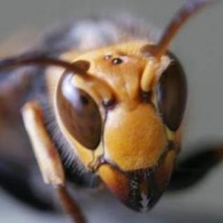 ハチの巣 スズメバチなど
