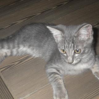 子猫 生後3か月の子猫 雄灰トラ1匹 雌黒2匹