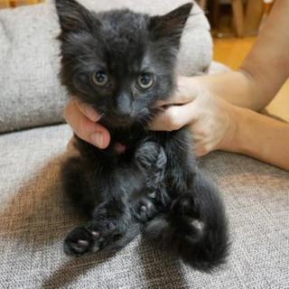 2ヶ月黒長毛♂子猫里親様募集