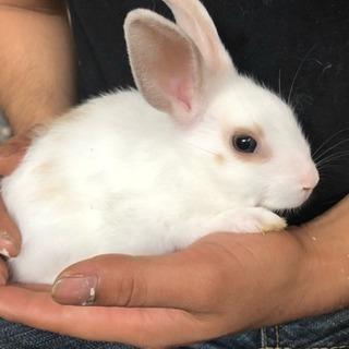 ミニウサギ (再募集です)
