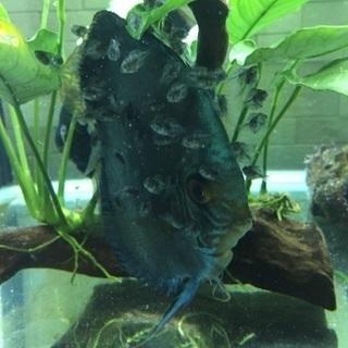 ブルーダイヤモンドディスカス幼魚