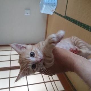 生後約2か月のオスの子猫の里親募集