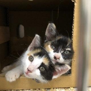 三毛子猫姉妹2匹の里親探してます