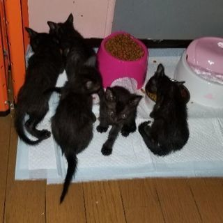 黒猫 3ヶ月 メス
