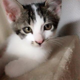 美子猫キジシロちゃん