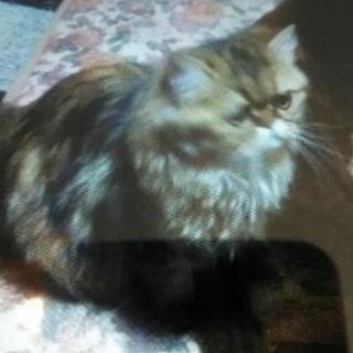ペルシャ猫の里親募集
