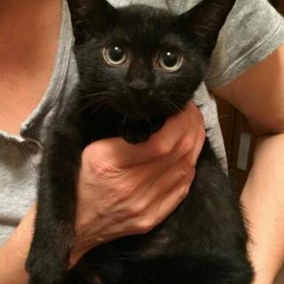 推定生後2ヶ月の黒猫ちゃん♀
