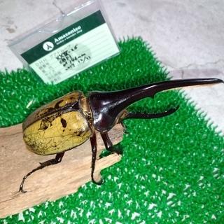 ヘラクレス Amazonico様血統 幼虫♂1♀2セット