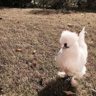 烏骨鶏 メス 2歳半 飼育経験者のみ