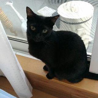 黒猫兄妹 4歳半 メス二匹オス一匹