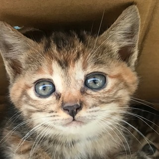 アメリカンショートヘアーのMIX子猫ちゃん生まれました!