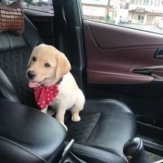 可愛いラブラドール子犬