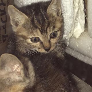 アメリカンショートヘアーMIXの赤ちゃん子猫