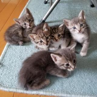 急募!生後2ヶ月の兄妹猫