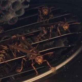 蜂の巣 駆除 ¥8000〜 即日対応可