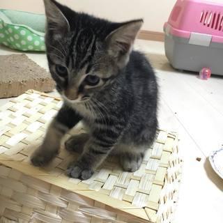 アメショ柄のとっても綺麗な子猫やまと♂、生後約6か月、里親様募集中です。