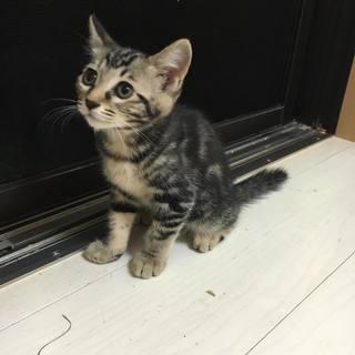 アメショ柄のとっても綺麗な子猫かぐや♀、生後約6か月、里親様募集中です。