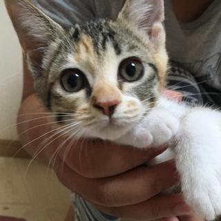 とっても可愛い三毛猫みやび♀、里親様募集中です。