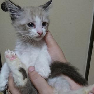 とっても可愛い子猫こまろ♂、生後約2か月、里親様募集中です。