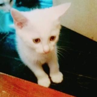 二ヶ月ぐらいの白猫ちゃん2匹(おす)