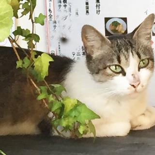 7/27と28限定!!きれいなキジ白(白キジ)の1才くらいの猫ち...