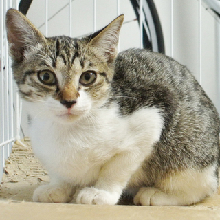4月生まれのキジ白(白キジ)の仔猫 かわいい女の子/♀メス