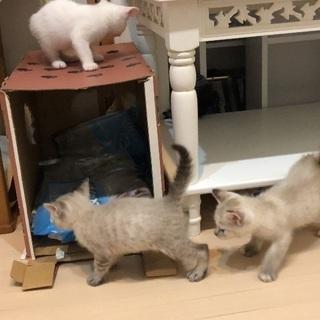 3匹の子猫の里親さんを募集しています