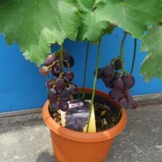 葡萄の木  鉢植え