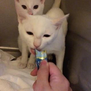 白猫★美猫兄弟★子猫