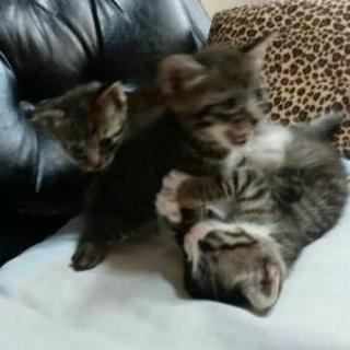 生後2ヶ月。子猫3匹、里親募集です(^^)