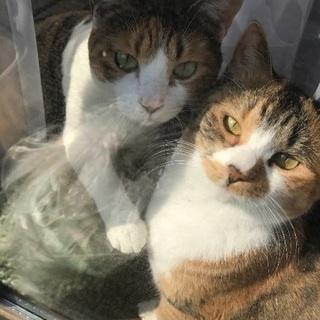 3歳 三毛猫姉妹の募集です!