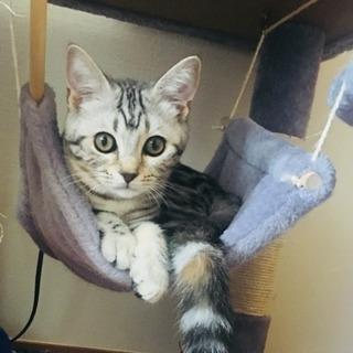 アメショスコMIX子猫(メス)