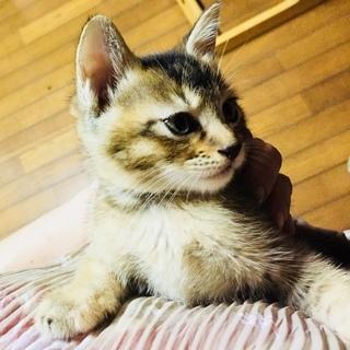 保護猫から生まれた子猫です(おこげちゃん/メス/アビシニアン風キジ猫)