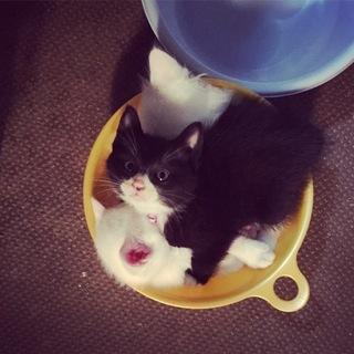 保護猫から生まれた子猫です(おはぎ君/オス/白黒くつしたにゃんこ)