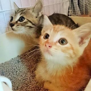 人馴れ抜群仲良し茶虎キジトラ子猫兄妹2か月