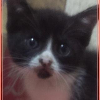 ニカ月目❤️まだまだちっちゃな片手サイズの可愛い子猫💕綺麗な八割れ❤️