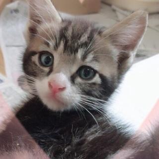 可愛い子猫の里親さん募集❤️約二か月以内です(๑˃̵ᴗ˂̵)