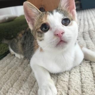 垂れ目のノノちゃん三毛猫5カ月♀